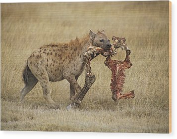 A Spotted Hyena Carries A Piece Wood Print by Tim Laman