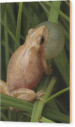 A Spring Peeper Calls For A Mate Wood Print by George Grall