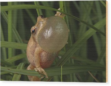 A Spring Peeper Faces The Camera Wood Print by George Grall