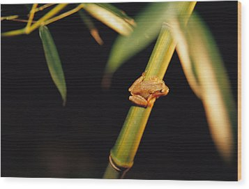 A Spring Peeper Frog Perches Wood Print by Raymond Gehman