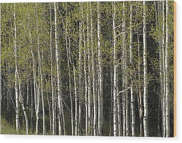 A Stand Of Aspen Trees At Wolf Creek Wood Print by Rich Reid