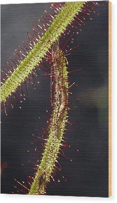 A Sundew Carnivourous Plant, Drosera Wood Print by Jason Edwards
