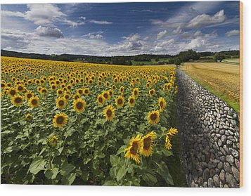 A Sunny Sunflower Day Wood Print by Debra and Dave Vanderlaan