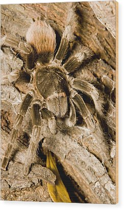 A Tarantula Living In Mangrove Forest Wood Print by Tim Laman