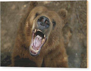 A Trained Kodiak Bear With Its Mouth Wood Print by Joel Sartore