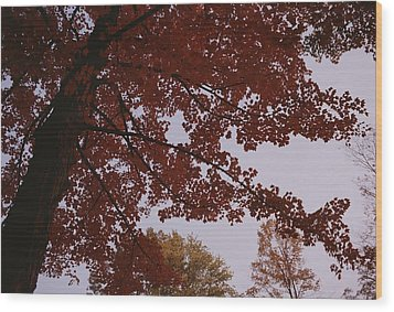 A Tree Displays Bright Red Autumn Wood Print by Stephen Alvarez