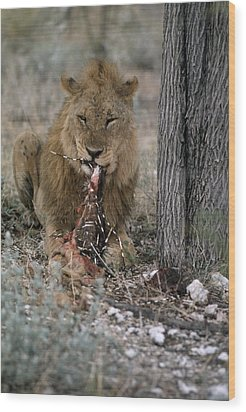 A View Of A Lion Panthera Leo Eating Wood Print by Des &Amp Jen Bartlett
