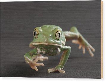 A Waxy Monkey Frog Phyllomedusa Wood Print by Joel Sartore
