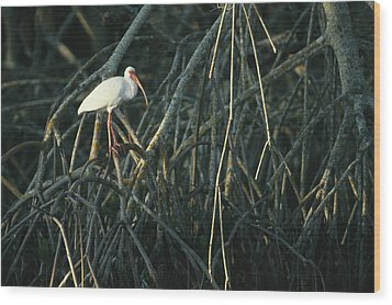 A White Ibis Perches On A Mangrove Tree Wood Print by Klaus Nigge