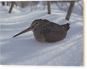 A Woodcock Sits In The Snow Wood Print by Bill Curtsinger