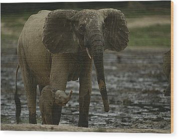 A Young Female Forest Elephant Stands Wood Print by Michael Fay