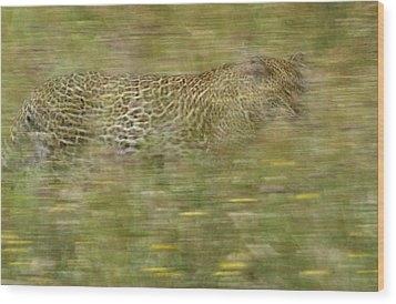 A Young Female Leopard Moving Wood Print by Michael Melford