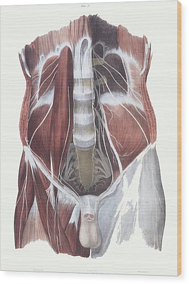 Abdominal Spinal Nerves Wood Print by Sheila Terry