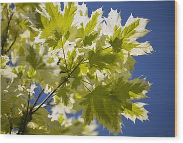 Acer Platanoides 'drummondii' Wood Print by Dr Keith Wheeler