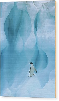 Adelie Penguin Pygoscelis Adeliae Wood Print by Colin Monteath