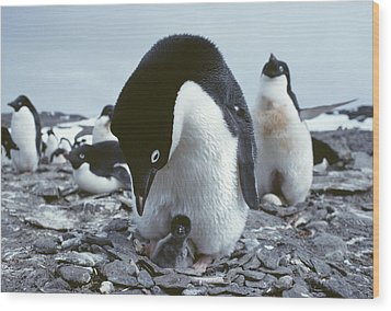 Adelie Penguin With Chick Wood Print by Doug Allan
