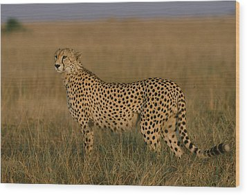 African Cheetah Acinonyx Jubatus Wood Print by Michael Nichols