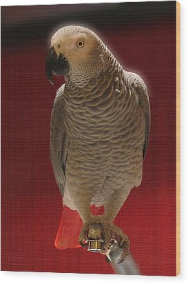 African Grey Parrot Orteil Blanc Wood Print by Jonathan Whichard