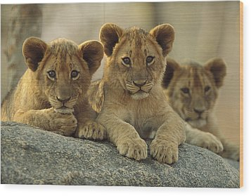 African Lion Three Cubs Resting Wood Print by Tim Fitzharris