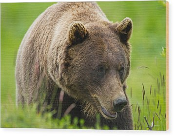 Alaskan Grizzly Wood Print by Adam Pender