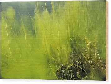 Algae Wood Print by Alexis Rosenfeld