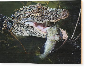 Alligator Eating A Catfish Wood Print by Paulette Thomas