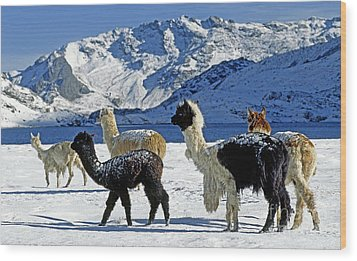 Wood Print featuring the photograph Alpacas In The Snow - Peruvian Andes by Craig Lovell