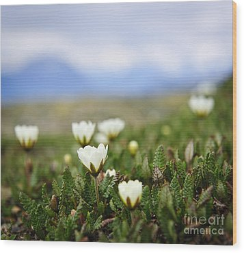 Alpine Meadow In Jasper National Park Wood Print by Elena Elisseeva