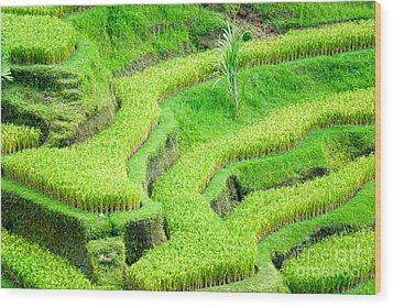 Wood Print featuring the photograph Amazing Rice Terrace Field by Luciano Mortula