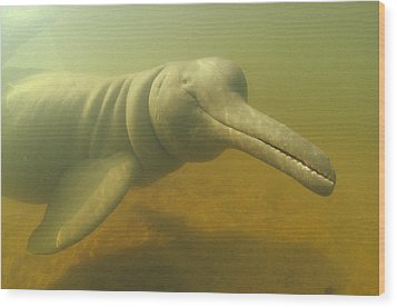 Amazon River Dolphin Portrait Brazil Wood Print by Flip Nicklin
