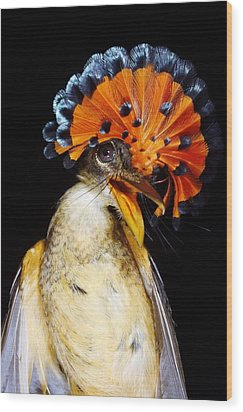 Amazonian Royal Flycatcher Wood Print by Dr Morley Read