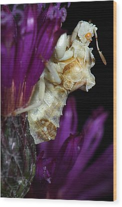 Wood Print featuring the photograph Ambush Bug On Ironweed by Daniel Reed