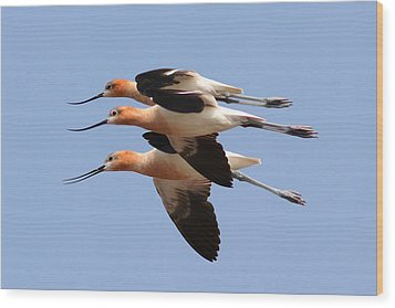 American Avocets Wood Print by Phil Lanoue