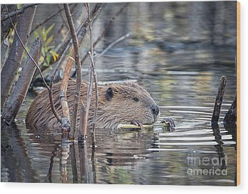 American Beaver Wood Print by Ronald Lutz