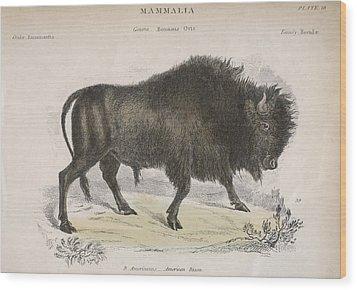 American Bison Wood Print by Hulton Archive