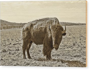 American Bison In Gold Sepia - Left View Wood Print by Tony Grider