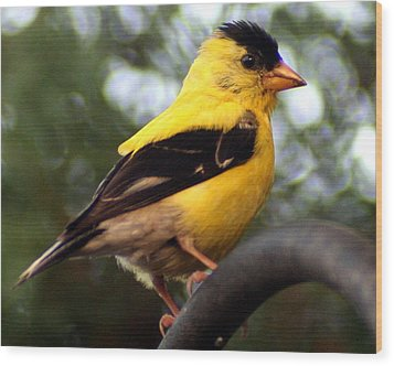 Wood Print featuring the photograph American Goldfinch by Laurel Talabere