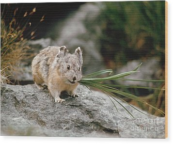 Wood Print featuring the photograph American Pika by Doug Herr