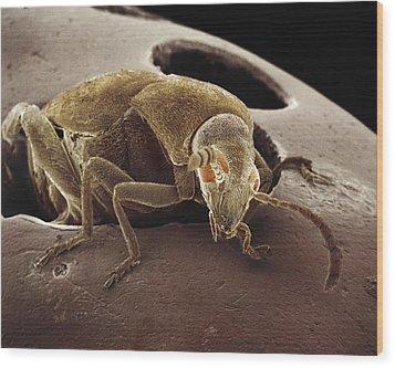 American Seed Beetle Sem Wood Print by Albert Lleal