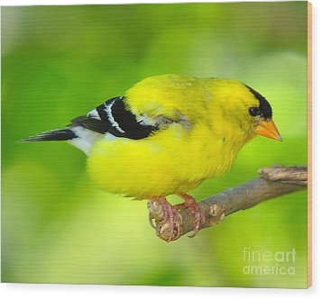 Wood Print featuring the photograph American Yellow Finch by Jack Moskovita