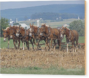 Amish Working Team  Wood Print by Louise Peardon