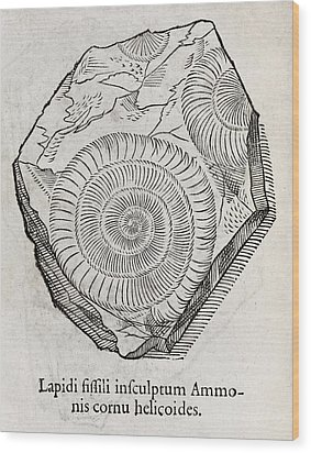 Ammonite Fossil, 16th Century Wood Print by Middle Temple Library