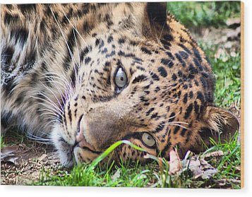 Wood Print featuring the photograph Amur Leopard by Lynne Jenkins