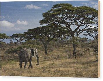An African Elephant Walks Among Acacia Wood Print by Ralph Lee Hopkins