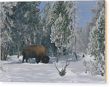 An American Bison Bison Bison Forages Wood Print by Norbert Rosing