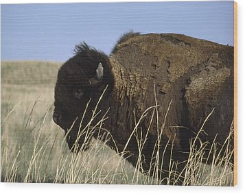 An American Bison Bison Bison Still Wood Print by James P. Blair