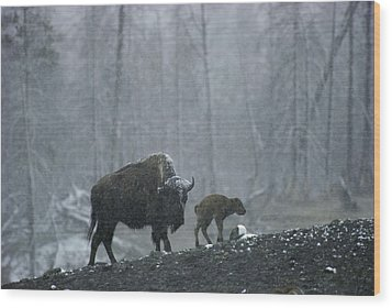 An American Bison Cow With Her Newborn Wood Print by Michael S. Quinton