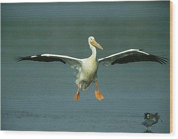 An American White Pelican In Flight Wood Print by Klaus Nigge