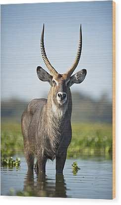 An Antelope Standing In Shallow Water Wood Print by David DuChemin