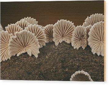 An Array Of Common Split Gill Mushrooms Wood Print by Darlyne A. Murawski